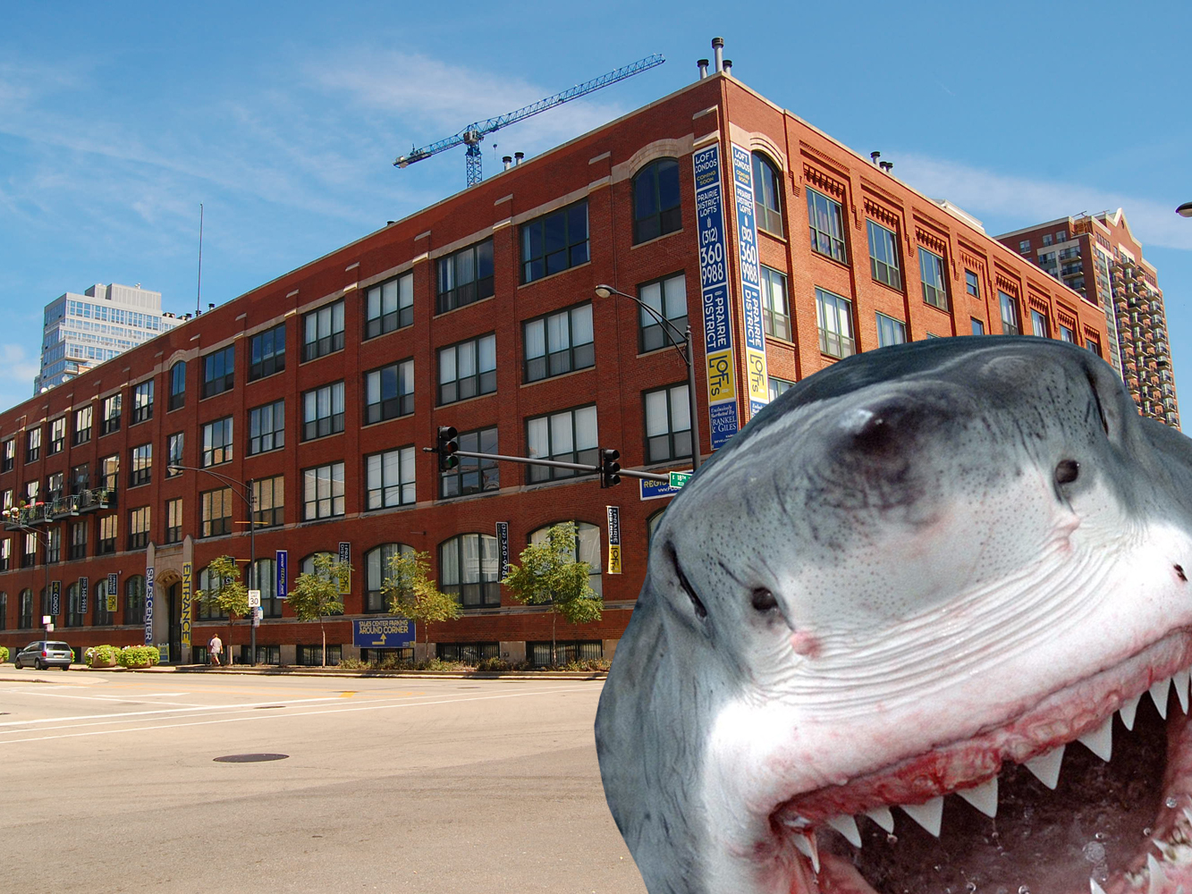 It's a South Loop shark hunt!